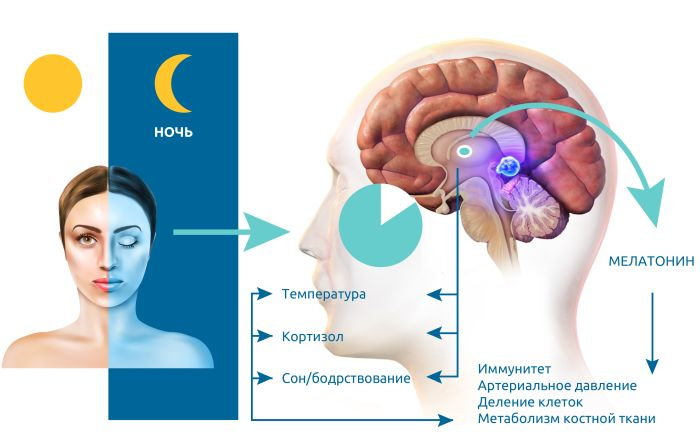 какой гормон вырабатывается ночью во время сна